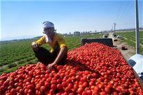 ممنوعیت صادرات علت افت شدید قیمت گوجهفرنگی/خشم کشاورزان مینابی از افت شدید قیمت گوجه فرنگی