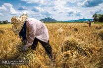 برداشت برنج در شالیزارهای گیلان