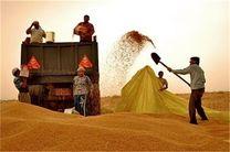 ممنوعیت واردات انواع گندم