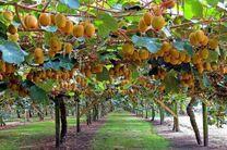 پیش بینی برداشت 20 هزار تن کیوی در باغات چالوس