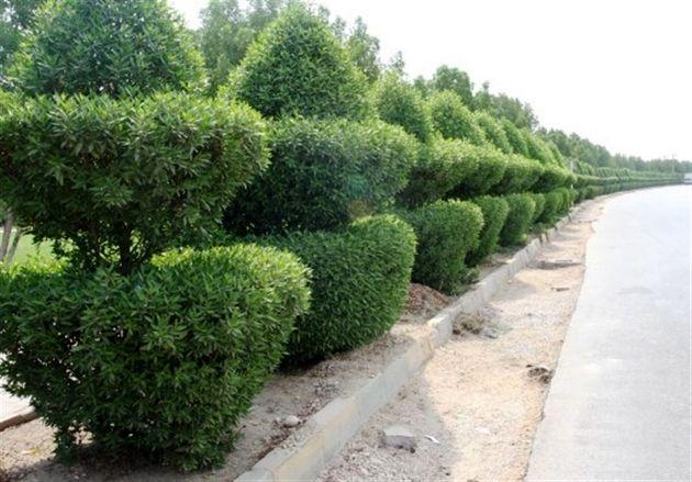 اختلاف بین کارشناسان محیط زیست و مسوولین شهرداری اهواز بر سر قطع درختان کنوکارپوس