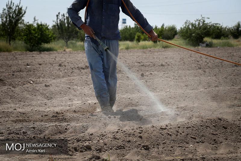 مبارزه با ملخهای صحرایی در هرمزگان ادامه دارد/سمپاشی نقاط بحرانی در سیریک