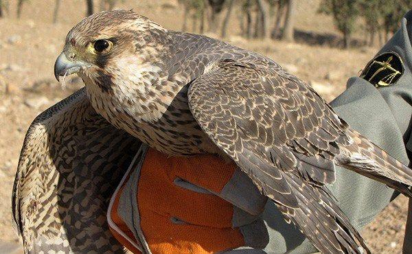 رهاسازی یک پرنده دلیجه در پارک ملی و پناهگاه حیات وحش کلاه قاضی اصفهان