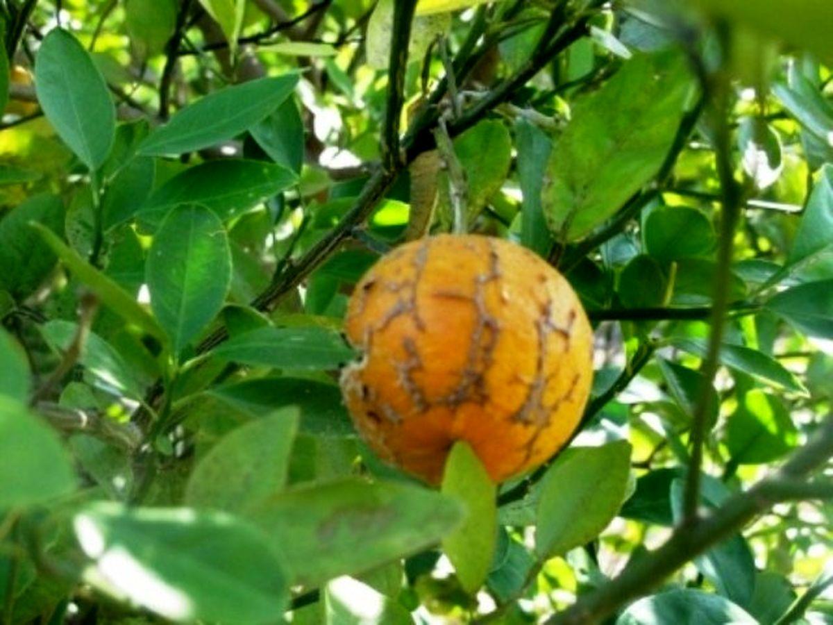 علائم بیماری میوه سبز مرکبات هرمزگان شناسایی شد