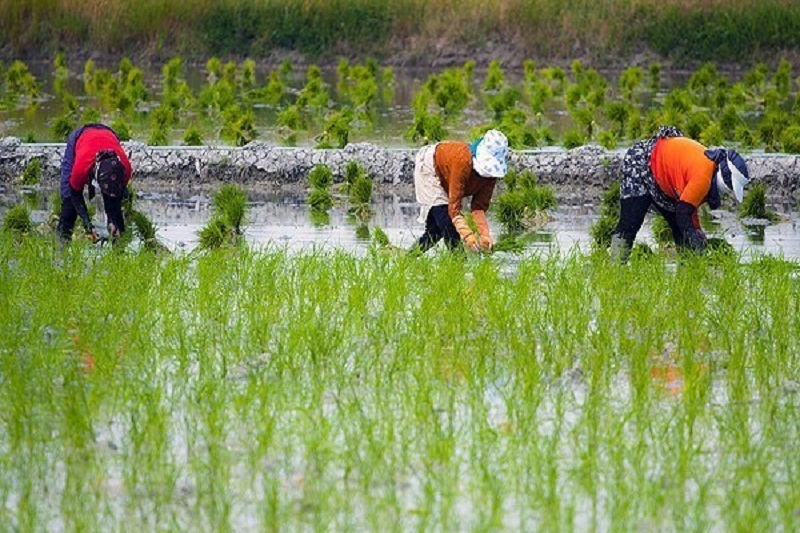 کشت برنج در استان اصفهان ممنوع شد