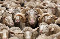 سارقان 153 راس گوسفند در میاندورود دستگیر شدند