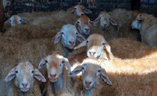 گوسفند فاقد مجوز به ارزش یک میلیارد ریال در مهریز کشف شد