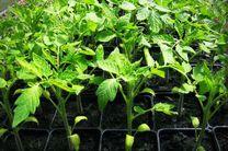ارسال نشاهای تولید شده در پارسیان به فارس و بوشهر/ پارسیان قطب تولید گوجه فرنگی