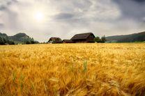 روش جدید سازگار کردن گندم با آب و هوای خشک کشف شد