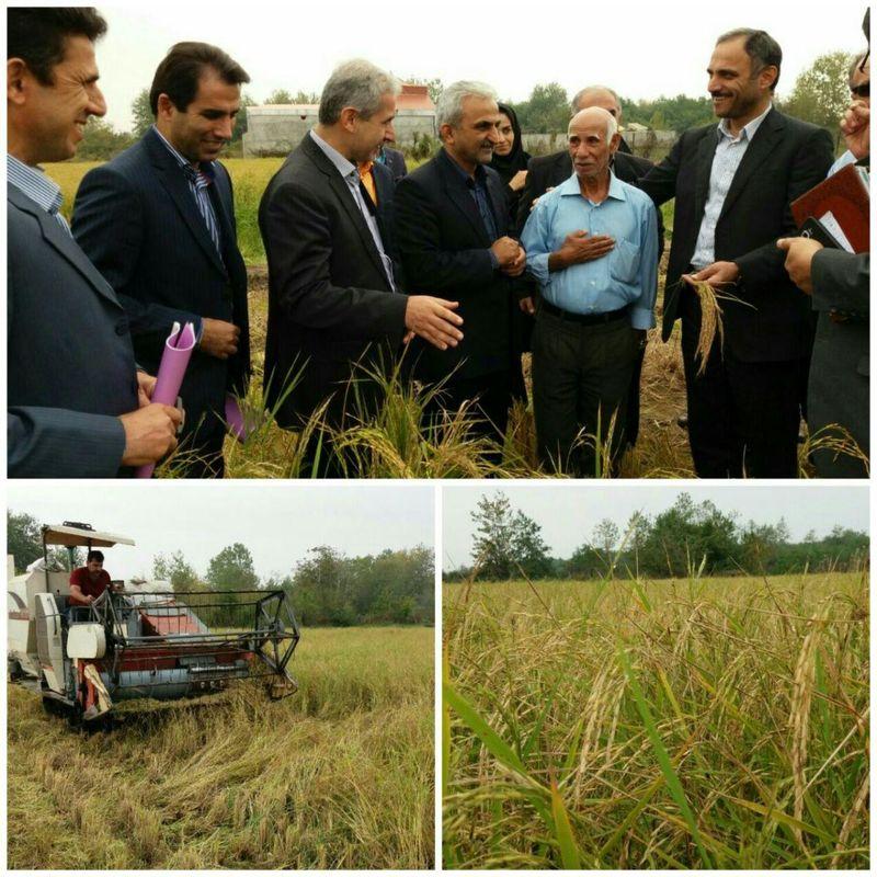 برداشت محصول راتون در اراضی شالیزاری  گیلان آغاز شد
