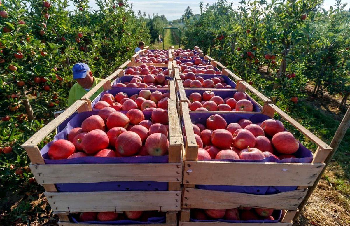 پیش بینی برداشت ۷۰ هزار تن سیب از سطح باغات شهرستان مشهد
