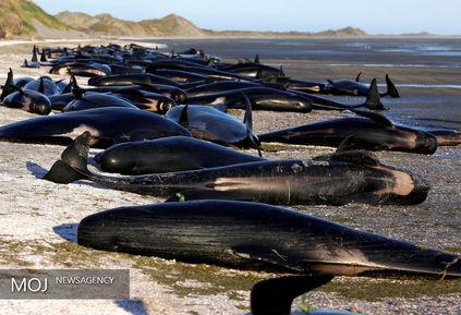 نهنگ هایی که باز هم قصد خودکشی داشتند