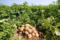 روشی نوین در کشت سیب زمینی با نیاز آبی کم
