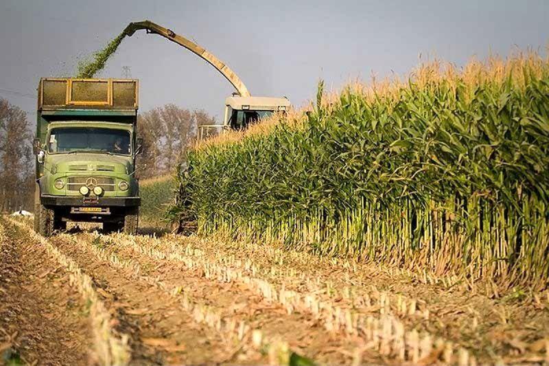 در سال جاری حدود 3 هزار تن ذرت دانهای از مزارع کشاورزی پلدختر برداشت خواهد شد