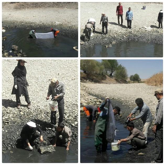 اجرای طرح نجات ماهیان گرفتار در زاینده رود