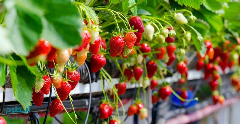 تولید سالانه 65 تن توت فرنگی در مجتمع گلخانه ای دهکده سبز نمین