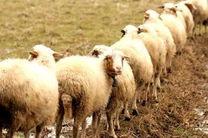 افزایش چشمگیر تولید شیر و گوشت گوسفند