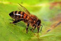زنبورها به همدیگر التماس می کنند