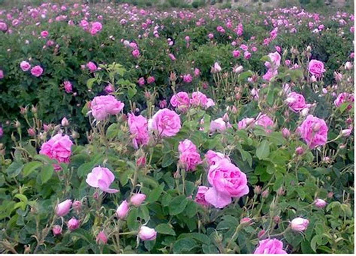 پیش بینی برداشت 65 تن گل محمدی در اردستان