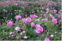 کاشت 7800 نهال گل محمدی در 4 روستای هزار جریب