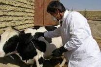 واکسیناسیون دامهای استان اصفهان علیه تب برفکی
