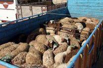کشف 45 راس دام قاچاق در سمیرم