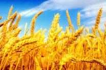 انعقاد قرارداد کشت با بیش از 1000 هکتار از مزارع گندم میاندورود