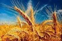 کاهش بارندگی و گرم شدن هوا علت کاهش تولید گندم هرمزگان