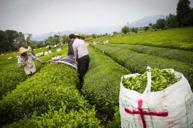 40 میلیارد تومان برای خرید برگ سبز چای پرداخت شده است