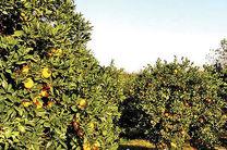 دولت برای حمایت از باغداران مازندرانی تدابیر ویژه ای دارد