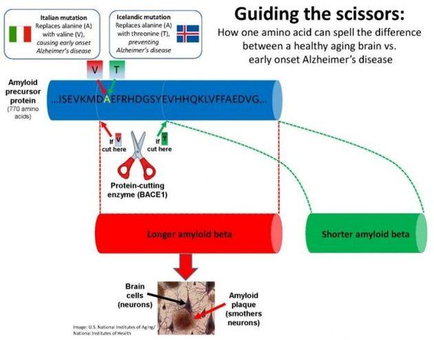 مبارزه با آلزایمر؛ همه چیز به نوع برش قیچی آنزیمی بستگی دارد!