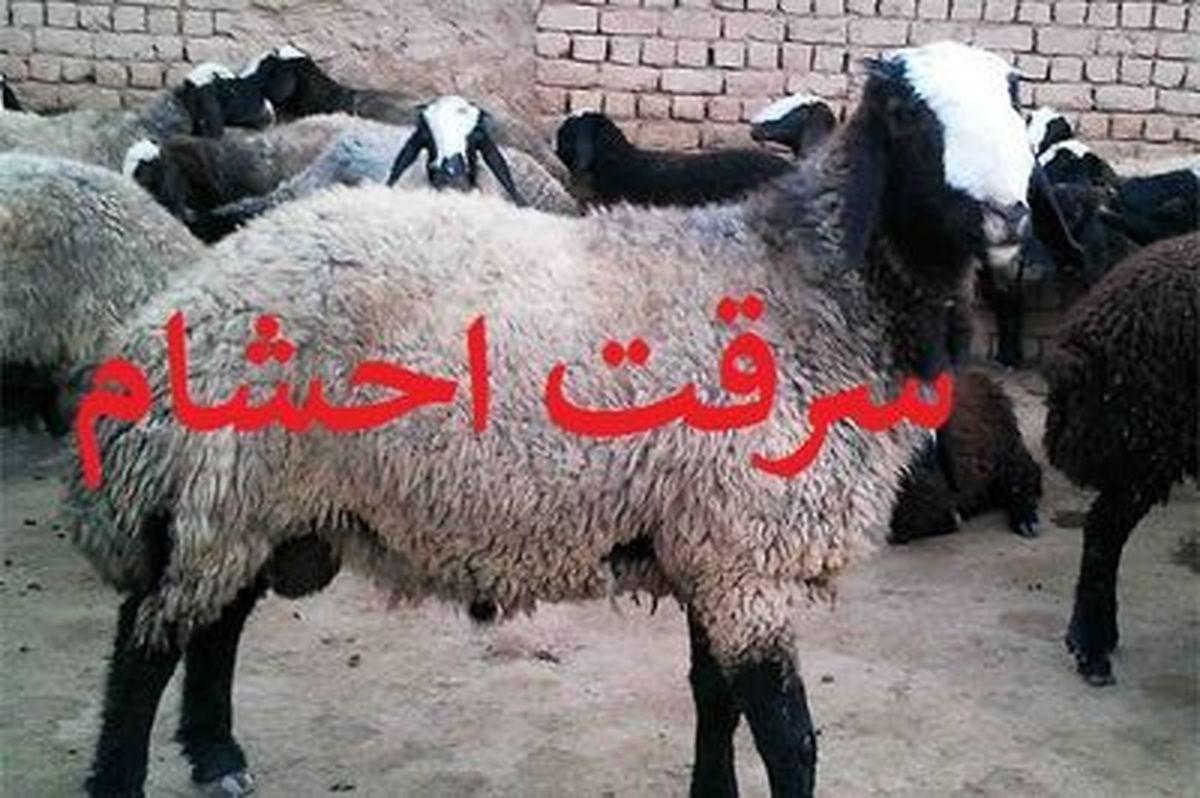 انهدام باند 3 نفره سارقان گوسفند در برخوار / کشف 40 راس گوسفند سرقتی