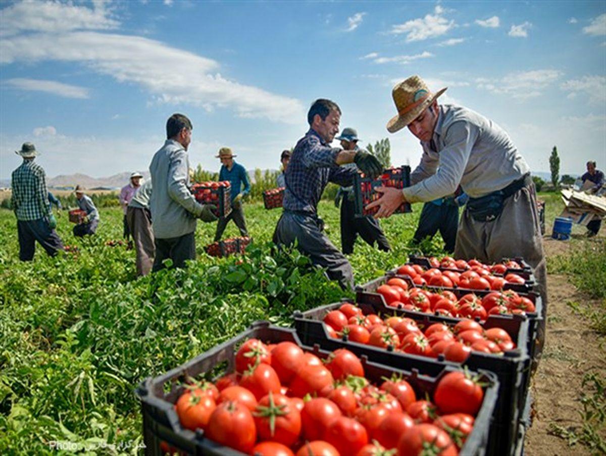 برداشت محصول گوجه فرنگی از مزارع شهرستان جغتای