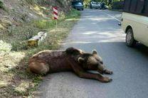 مرگ خرس گریزلی در ییلاقات ماسال