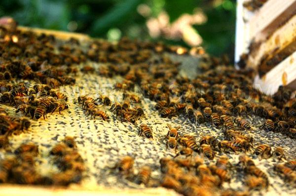 خشکسالی و کمبود باران عامل کاهش تولید عسل در نکا