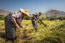 اولین برداشت برنج در اراضی شالیزاری کوهستانی بهشهر