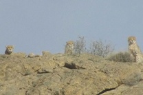 مشاهده 5 قلاده یوزپلنگ آسیایی در پارک ملی توران شاهرود