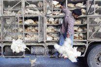 خطر شیوع آنفولانزای پرندگان در کرمانشاه/ مردم از خرید مرغ زنده خودداری کنند