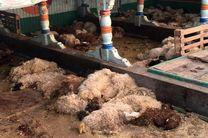تلف شدن یک هزار و 180راس گوسفند در راه صادرات به قطر از بندر شادگان