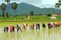 نشا شالی برنج در 213 هزار هکتار از زمین های کشاورزی مازندران