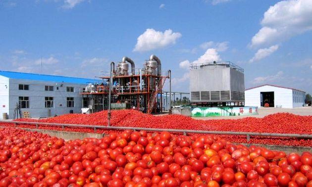 آغاز خرید حمایتی گوجه فرنگی در هشتبندی میناب