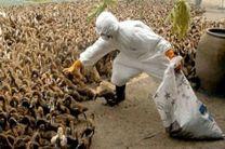 آنفلوآنزای فوق حاد پرندگان به صنعنت طیور 2 هزار میلیارد تومان خسارت وارد کرد