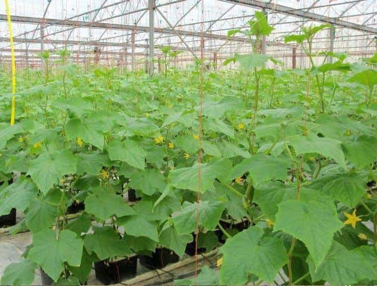 مساحت گلخانه های کشت هیدروپونیک در مشهد به ۳۱ هکتار رسید