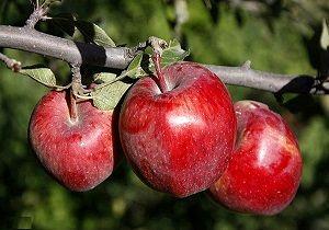 459 هکتار از باغات کرمانشاه در حال برداشت سیب هستند