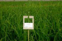 کم شدن طغیان آفت کرم ساقه برنج در مازندران
