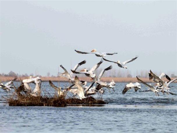 ورود پرندگان مهاجر به تالاب های مغان