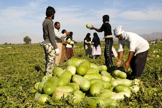 افزایش تولید هندوانه در مزارع جاسک