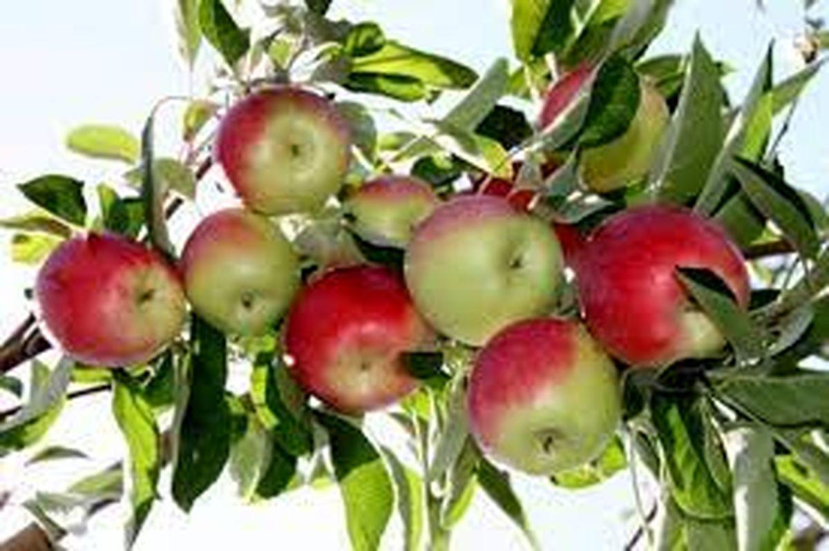 پیش بینی برداشت بیش از 15 هزارتن سیب گلاب از مزارع استان اصفهان