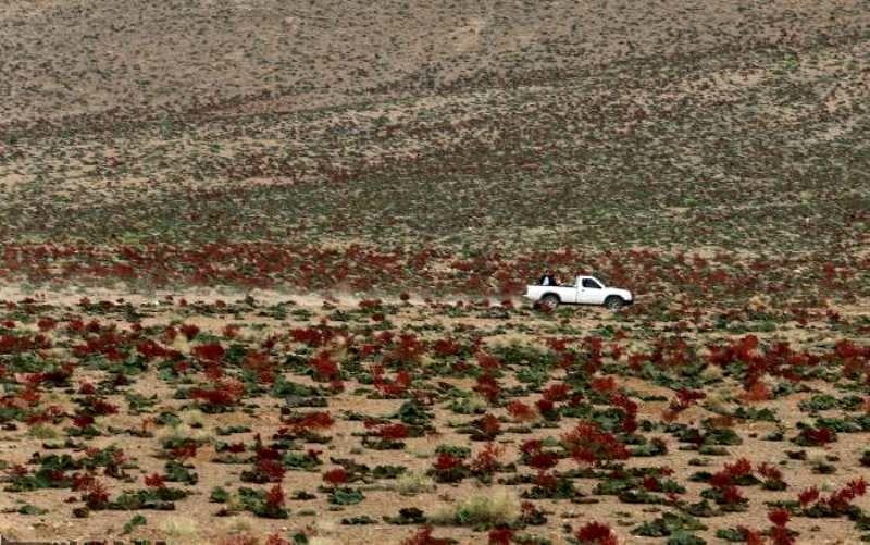 نخستین جشنواره فرهنگی و هنری گیاه ریواس در مهریز برگزار شد