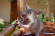 موش ها فیلم دیدن را دوست دارند